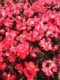 Röda begonialägenheter Arkivfoto