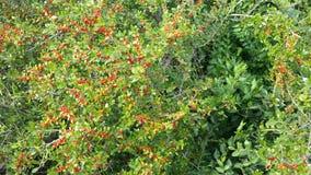 Röda Berry Bush Royaltyfri Fotografi