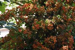 röda berrys Fotografering för Bildbyråer