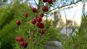 Röda berrys i israel parkerar Arkivbild