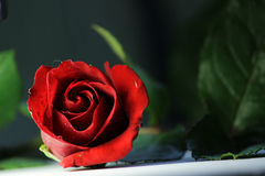 Röda blad för gräsplan för rosromansförälskelse blommar fotografi för blomningtabellöverkanten Royaltyfri Bild