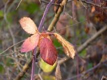 Röda bladbjörnbär på busken Arkivfoto
