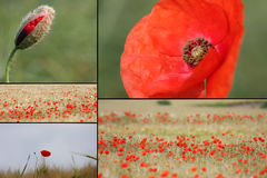röda blandade vallmor för detaljer royaltyfri foto