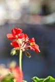 Röda blomma blommor Arkivbild