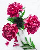 Röda blommapioner på en ljus bakgrund, bästa sikt p?rlor f?r bl? f?r begrepp f?r bakgrundssk?nhet blir grund naturliga over f?r b arkivbilder