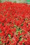 röda blommaträdgårdar Arkivfoto