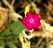 Röda blommaväxter för en pelargon Arkivfoton