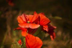 Röda blommavallmo Royaltyfria Bilder