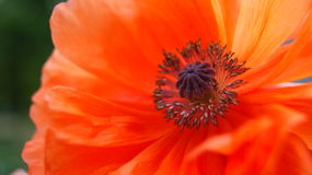 Röda blommavallmo Arkivbild