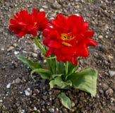 Röda blommor Arkivbilder