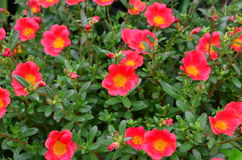 Röda blommor Arkivbild