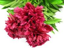 Röda blommor Fotografering för Bildbyråer