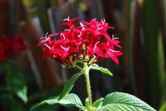 Röda blommor 1 Royaltyfri Foto