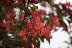 Röda blommor av äpplet Royaltyfria Foton