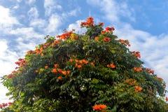 Röda blommor av afrikanen Tulip Tree eller springbrunnträdet Royaltyfri Fotografi