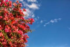Röda blommor av bougainvillean Royaltyfria Foton