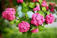 Röda blommor av Crataeguslaevigataen för engelsk hagtorn royaltyfri bild