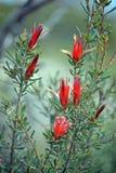 Röda blommor av den australiska infödda bergjäkeln royaltyfria bilder