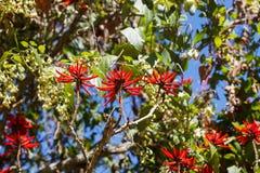 Röda blommor av den brasilianska trädErythrina speciosaen (korallträdet, Fl royaltyfria foton