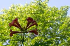 Röda blommor av en lilja Campsis på en bakgrund av grön oskarp lövverk Royaltyfria Bilder