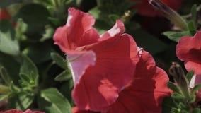 Röda blommor av hibiskusen som vinkar på vind swallowtail för sommar för fjärilsdaggräs solig grön leaf växter stock video