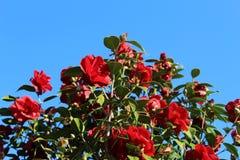 Röda blommor av kamelian royaltyfri bild