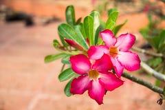 Röda blommor, azaleablommor Royaltyfri Bild