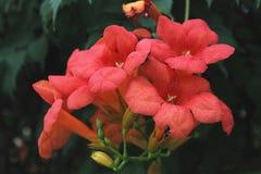 Röda blommor - BignoniaUnguis - cati Royaltyfri Bild