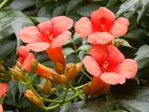 Röda blommor, buske, blommar bakgrund Royaltyfria Foton