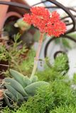 Röda blommor - Crassulafalcata Arkivfoto