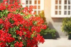 Röda blommor dekorerar en fönsterfönsterbräda på gatan Arkivfoton