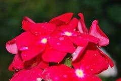 Röda blommor efter regnet Royaltyfria Bilder