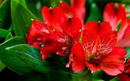 Röda blommor för Alstroemeria med gröna blad Royaltyfri Fotografi