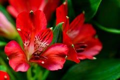 Röda blommor för Alstroemeria med gröna blad Arkivbild