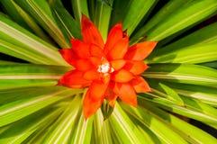 Röda blommor för ananas Arkivbild