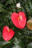 Röda blommor för Anthurium Arkivfoto