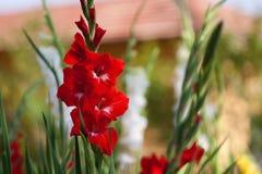 Röda blommor för gladiolus inom ett grönt fält Arkivbild