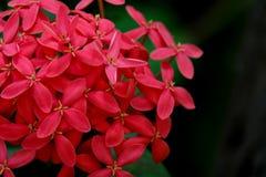Röda blommor för grov spik, röd blommatextur Arkivbild