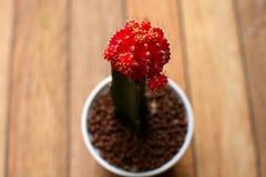 Röda blommor för Gymnocalyciumkaktuskaktus i kruka på kaktuns arbeta i trädgården Fotografering för Bildbyråer