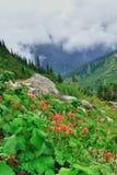 Röda blommor för hög alpin tundra och tung dimma Royaltyfri Foto