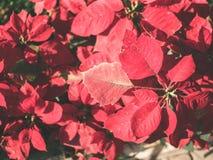 Röda blommor för julstjärna på solljuset i trädgård fotografering för bildbyråer