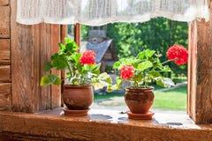 Röda blommor för pelargon på fönstret av det gamla lantliga trähuset Arkivbild
