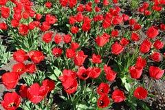 Röda blommor för tulpanfält Arkivbild