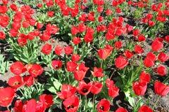 Röda blommor för tulpanfält Arkivbilder