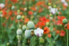 Röda blommor för vallmo och gröna huvud arkivfoton