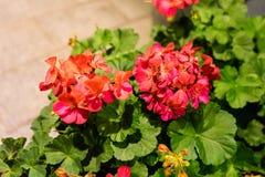 Röda blommor i aftonen royaltyfria foton