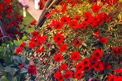 Röda blommor i Dubai mirakelträdgård Arkivbilder