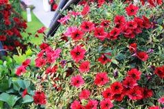 Röda blommor i Dubai mirakelträdgård Royaltyfria Foton