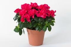Röda blommor i en kruka Royaltyfri Bild