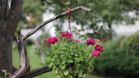Röda blommor i en kruka på ett träd som svänger i vinden på en solig dag stock video